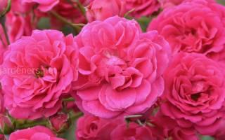 12 лучших сортов плетистых роз — Рейтинг 2020 года (Топ 12)