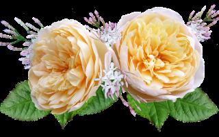 10 лучших сортов роз Остина — Рейтинг 2020 года (Топ 10)