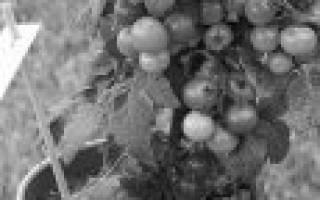 10 лучших сортов помидоров для открытого грунта — Рейтинг 2020 года (Топ 10)