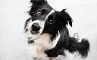 Рейтинг самых умных пород собак — ТОП 10