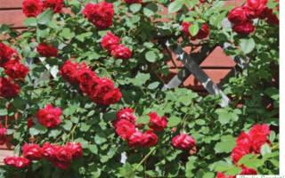 10 лучших сортов роз флорибунда — Рейтинг 2020 года (Топ 10)