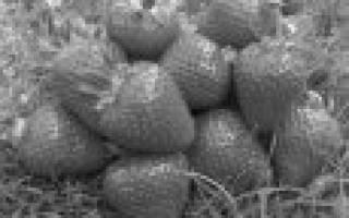 10 лучших сортов клубники (земляники садовой)