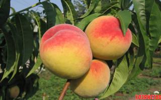 10 лучших сортов персика — Рейтинг 2020 года (Топ 10)