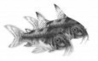 7 лучших аквариумных рыбок для новичка