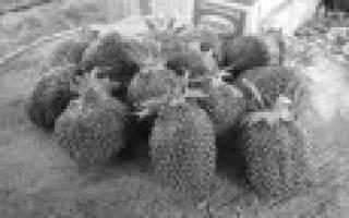 8 лучших сортов клубники (земляники садовой) для Подмосковья